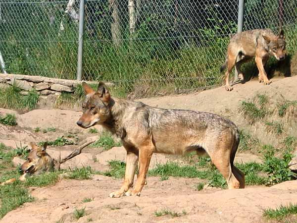 Loups au Zoo des Marécottes, dans la vallée du Trient, au-dessus de Martigny (Valais).