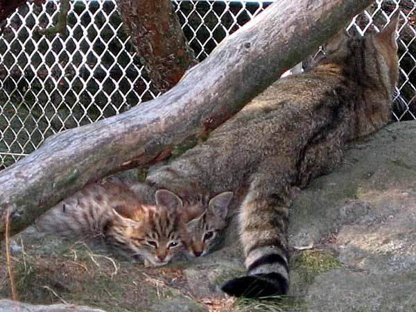 Chats sauvages au Zoo des Marécottes, dans la vallée du Trient, au-dessus de Martigny (Valais).