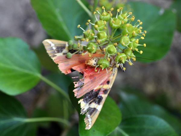Paros, Cyclades: la Vallée des Papillons. Il ne s'agit en fait pas d'une vallée, mais d'un vaste jardin luxuriant accroché au flanc d'une colline.<p>C'est un biotope idéal pour le papillon nocturne panaxia quadripunctaria, qui vient s'y reproduire de juin à septembre. Durant cette période, cette oasis de fraîcheur est ouverte de 9h à 20h et, même si la plupart des papillons dorment, il y en a des centaines ou même des milliers qui volètent de-ci de-là, transformant le lieu en une forêt enchantée...