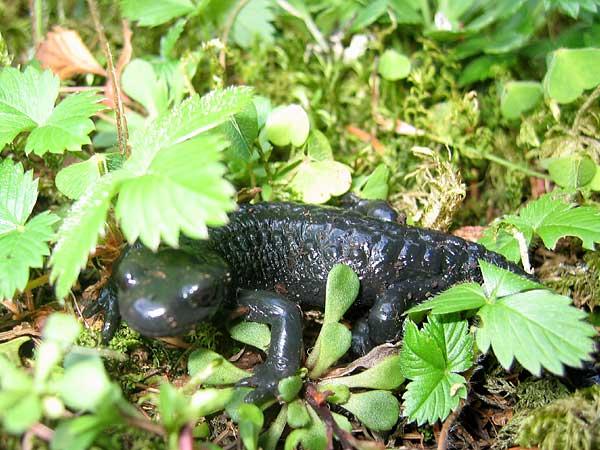 Une salamandre à proximité du jardin alpin La Thomasia, à l'entrée du Vallon de Nant.