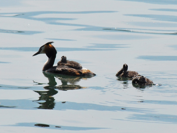 Une famille de grèbes huppés au large des quais de Villeneuve, juin 2010.