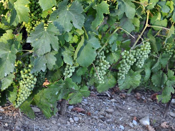 Paysages et vignes du Dézaley en Lavaux, juillet 2010.
