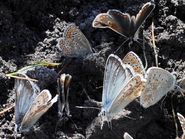 Brunch dominical? Parade nuptiale? Assemblée des copropriétaires? Rassemblement de papillons quelque part près du lac de Derborence, au Valais, août 2010.