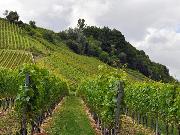 Entre vignobles et lac du côté de la Pointe du Grin, près de Bevaix et Cortaillod. Lac de Neuchâtel, région des Trois-Lacs, 19 juin 2011.