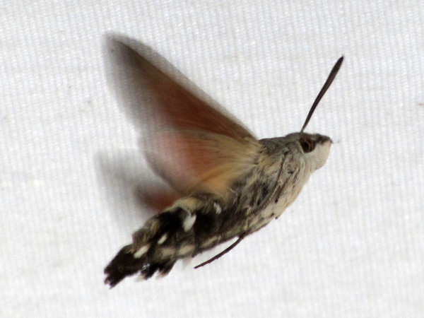 Paros, septembre 2013. Un gros insecte inoffensif que l'on voit souvent dans les îles, butinant de-ci de-là. Son vol est si imprévisible et ses ailes battent si vite que le photographier correctement est mission impossible...
