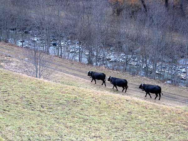 Val d'Hérens (Valais): le soleil de l'après-midi s'est caché, les vaches rentrent à l'étable...